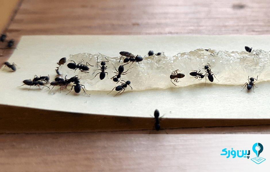 از بین بردن مورچههای خانگی