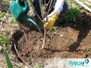 نحوهی کاشت درخت آلبالو