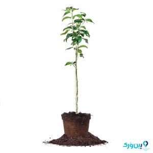 کاشت درخت گلابی