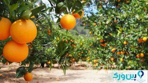 طریقهی کاشت درخت پرتقال