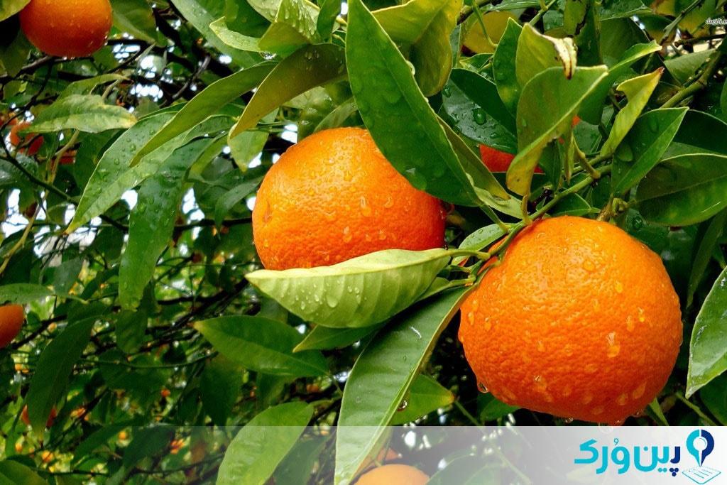 کاشت درخت پرتقال